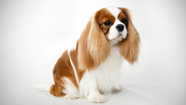 cavalier king charles spaniel dog breed selector animal planet