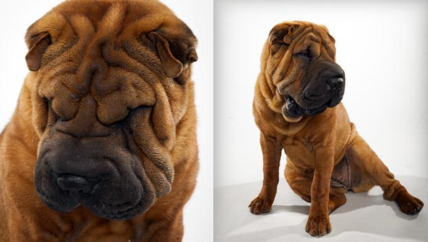 Chinese Shar-Pei : Dog Breed Selector : Animal Planet