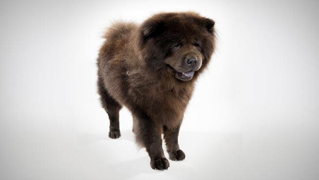 Chow Dog Breed Selector Animal