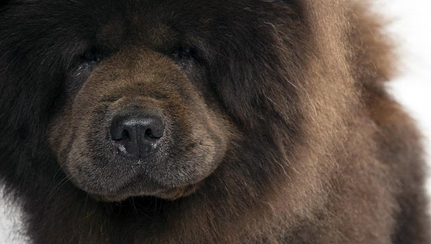 Chow Chow Dog Breed Selector Animal Planet