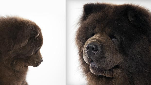 Chow Chow : Dog Breed Selector : Animal