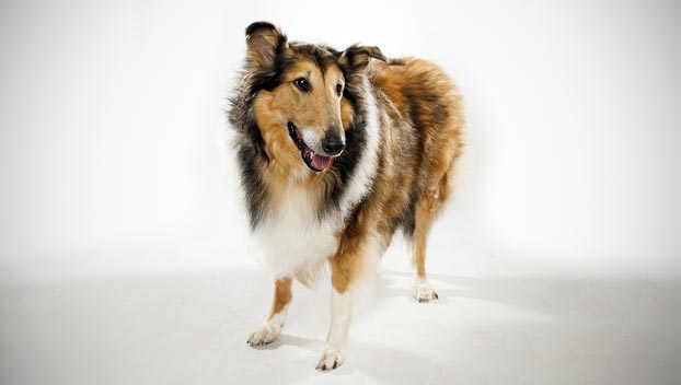 collie dog breed selector animal planet