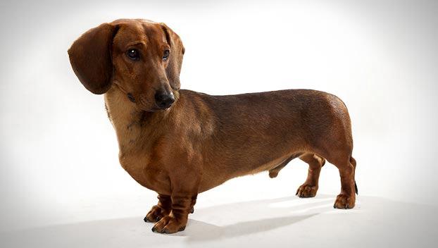 Dachshund (Standard) : Dog Breed Selector : Animal Planet