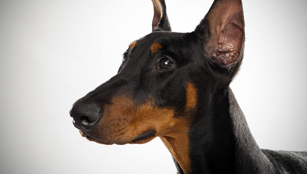 Doberman Pinscher Dog Breed Selector Animal Planet