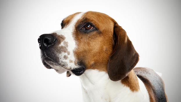 English Foxhound Dog Breed Selector Animal Planet