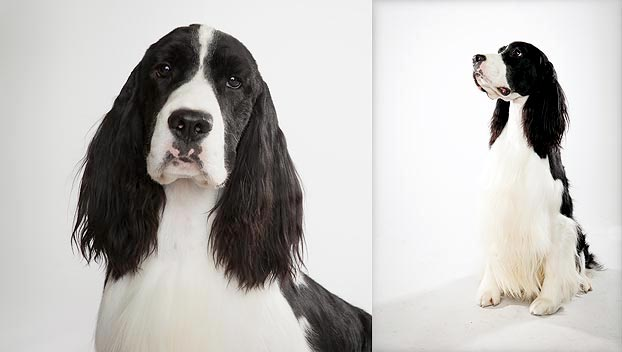 English Springer Spaniel : Dog Breed Selector : Animal Planet