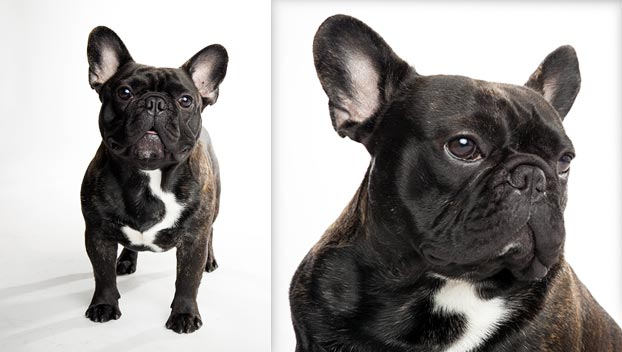 French Bulldog Dog Breed Selector Animal Planet