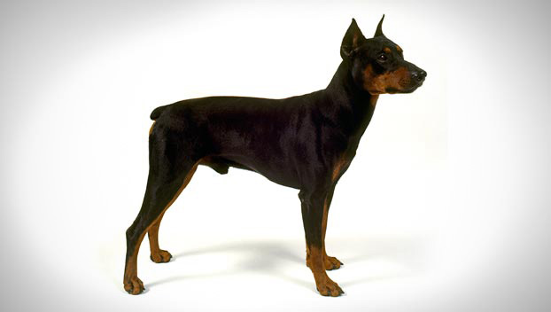 German Pinscher Dog Breed Selector Animal Planet