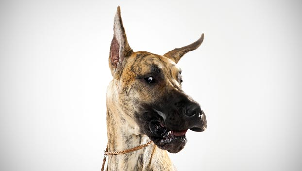 Great Dane Dog Breed Selector Animal Planet