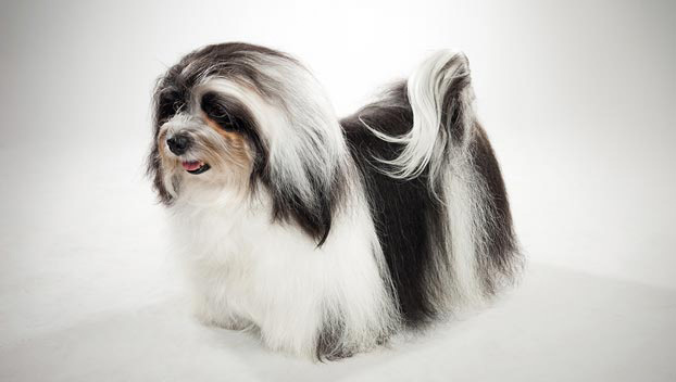 Havanese : Dog Breed Selector : Animal Planet