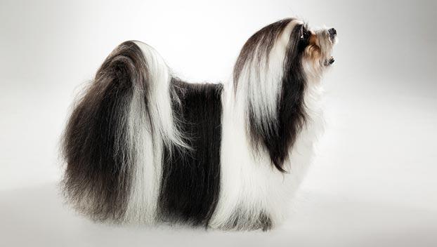 Havanese : Dog Breed Selector : Animal Planet