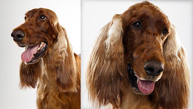 Irish Setter : Dog Breed Selector : Animal Planet