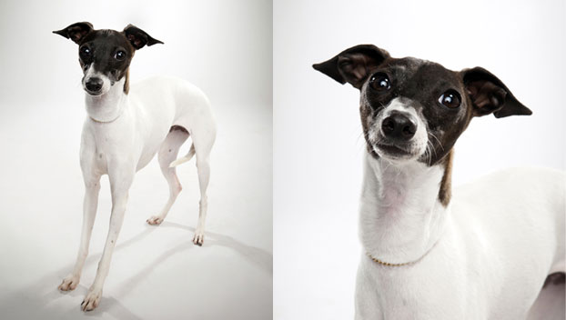 Italian Greyhound : Dog Breed Selector : Animal Planet