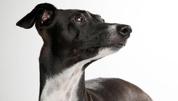 Italian Greyhound Dog Breed Selector Animal Planet