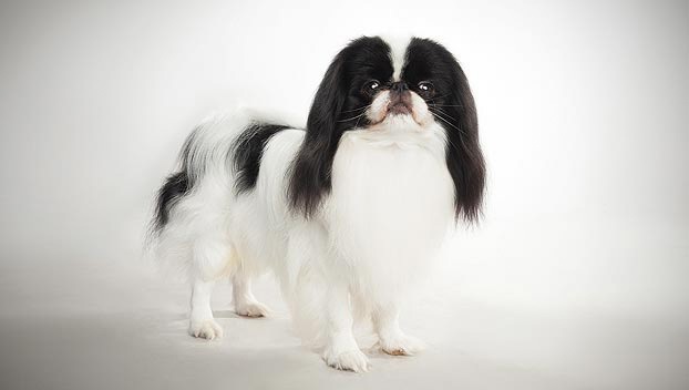 Japanese Chin Dog Breed Selector Animal Planet