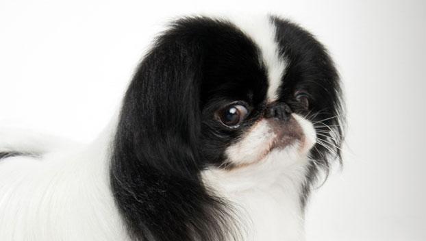 Japanese Chin : Dog Breed Selector : Animal Planet