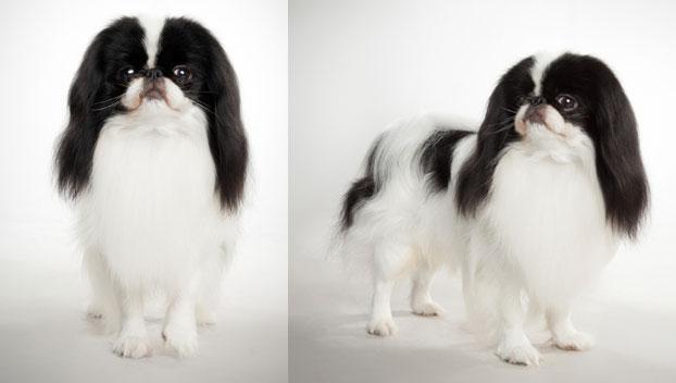 Japanese Chin Dog Breed Selector Animal Planet