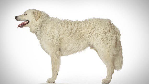 Is the Kuvasz right for you? Find your perfect match now!