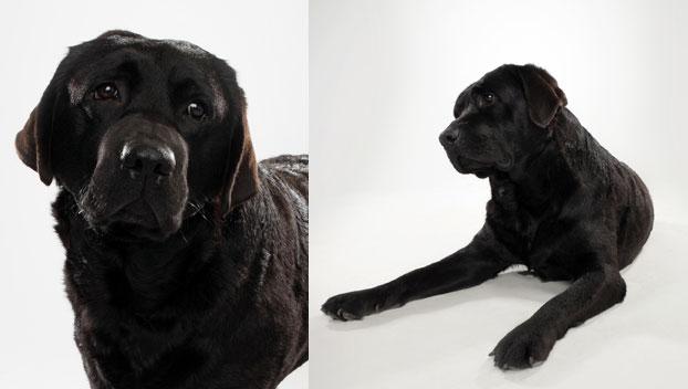 Labrador Retriever Dog Breed Selector