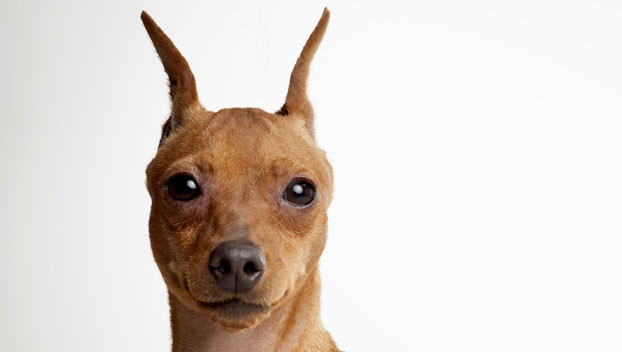 Miniature Pinscher Dog Breed Selector Animal Planet