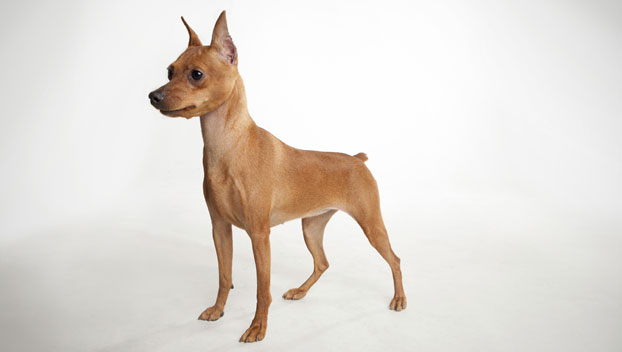 Miniature Pinscher Dog Breed Selector Animal Planet