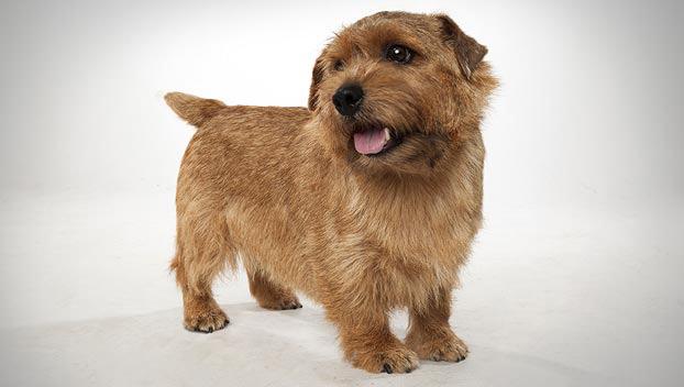 Norfolk Terrier Dog Breed Selector
