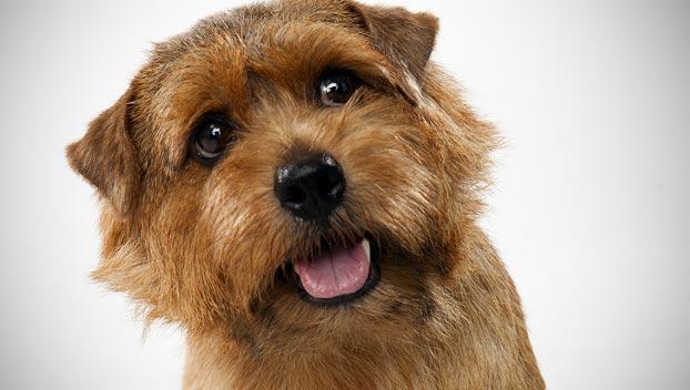 Norfolk Terrier Dog Breed Selector Animal Planet