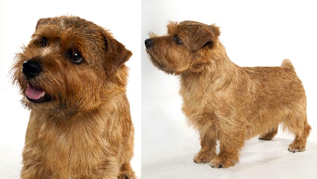 Norfolk Terrier : Dog Breed Selector : Animal Planet