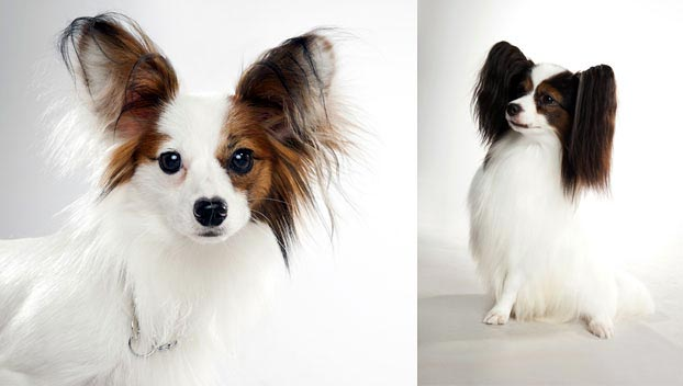 Papillon : Dog Breed Selector : Animal Planet