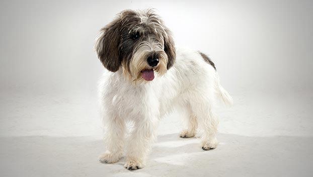 Petit Basset Griffon Vendeen Dog Breed Selector Animal