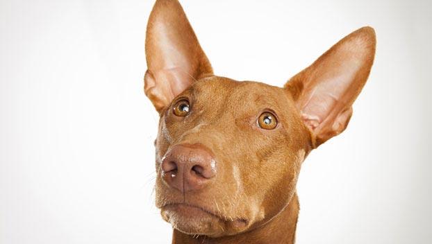 Pharaoh Hound Dog Breed Selector