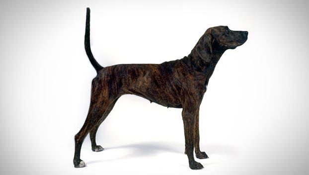 Plott   Dog Breed Sele...