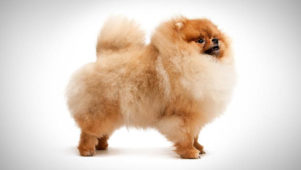 Pomeranian Dog Breed Selector Animal Planet
