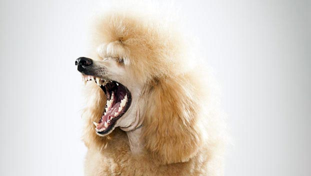 Poodle Standard Dog Breed Selector Animal Planet