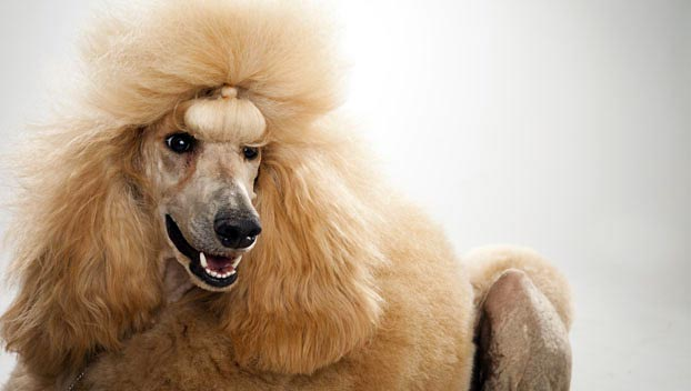 Poodle Standard Dog Breed Selector Animal Planet