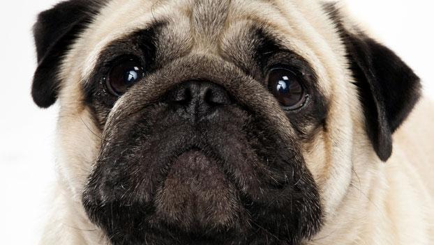 Pug Dog Breed Selector Animal Planet