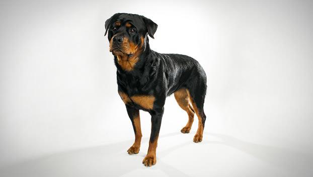 Rottweiler Dog Breed Selector Animal Planet