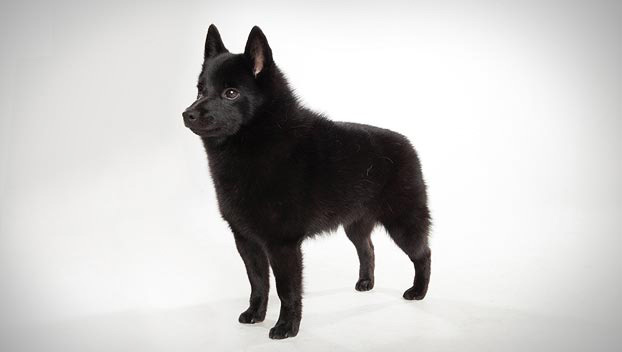 schipperke dog breed selector animal planet
