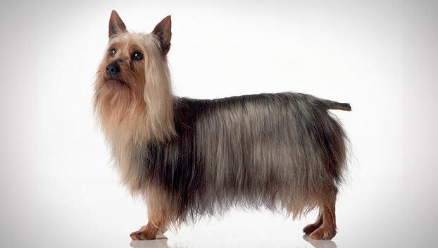 Silky Terrier : Dog Breed Sele...