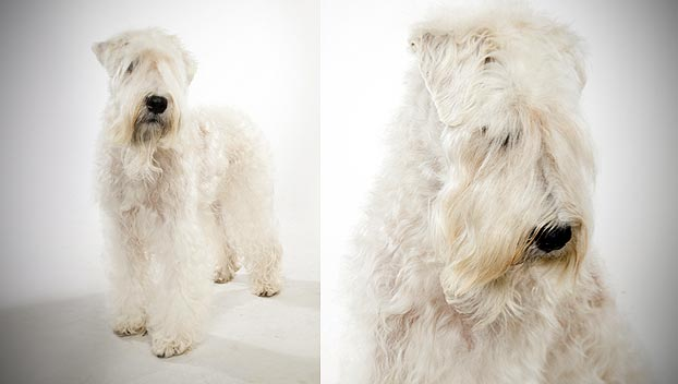 Soft Coated Wheaten Terrier Dog Breed Selector Animal Planet