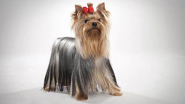 yorkie terrier breed yorkshire terrier dog breed selector animal planet 5713