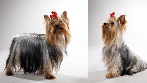 Yorkshire Terrier : Dog Breed Selector : Animal Planet