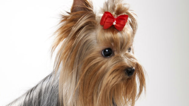 yorkshire terrier dog breeds yorkshire terrier dog breed selector animal planet 7145