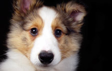 Easy-to-Train Dog Breeds