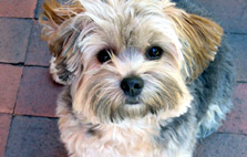 Hypo-Allergenic Dog Breeds